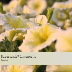 Variety Introductions: Supertunia® Limoncello, Black Cherry and Mini Rose Veined