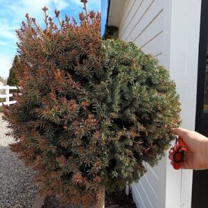 Trimming Spruce Topiaries, Planting Spring Stuff & Potting Up Seedlings! ✂�🌲🌿 // Garden Answer