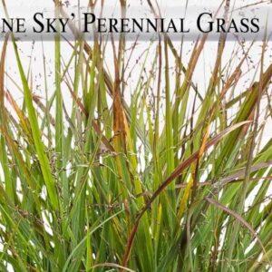 Proven Winners® Gardener Channel: Proven Winners® Cheyenne Sky Panicum Virgatum