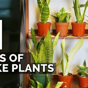 11 Snake Plant Varieties to Add To Your Collection ASAP