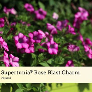 3 Charming Early Risers--Supertunia Charms