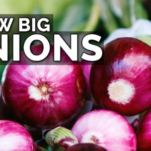 3 Onion Growing Mistakes to Avoid