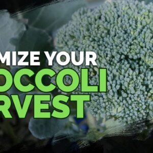 5 MUST-FOLLOW Tips for Harvesting Broccoli!