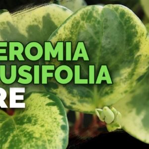 8 Peperomia Obtusifolia Care Tips and Tricks