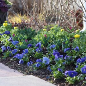 I Went Kind of Crazy With Pansies! 💙😆🤷�♀�// Garden Answer