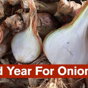 A Bad Year For Onions