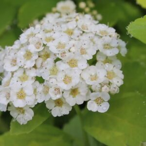 A New Plant for the Moon Garden--Glow Girl Spirea!
