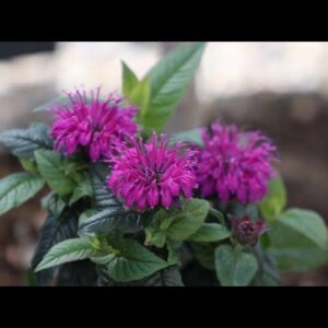 A Pollinator Garden Must Have--'Leading Lady Plum' Bee Balm