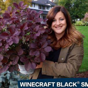 A Spotlight on Winecraft Black Smokebush!