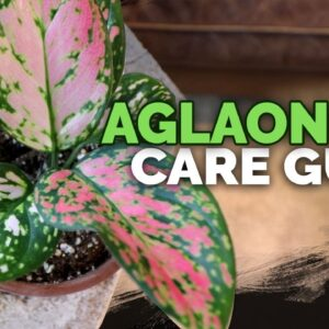 Aglaonema (Chinese Evergreen) Care: A Noob-Proof Houseplant