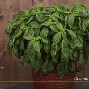 Amazel Basil--Finally a Downy Mildew Resistant Italian Sweet Basil!