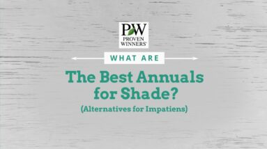 Best Annuals for Shade - Alternatives to Impatiens