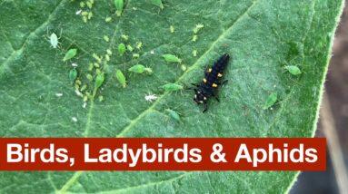 Birds, Ladybirds & Aphids