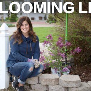 Bloomerang Deep Purple Reblooming Lilac