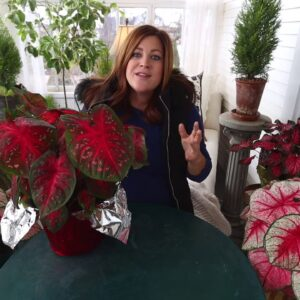 Caladiums Have Arrived in Time for the Holidays!