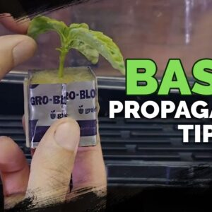 Cloning Basil: My Method for High Success Rates