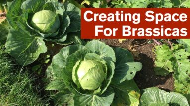 Creating Space For Brassicas