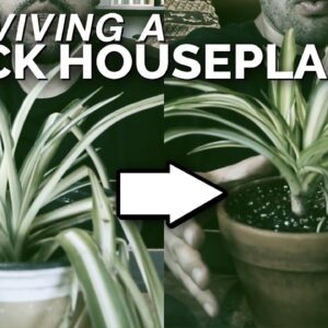 House Plant Rescue: Saving a Spider Plant From Death 🕷️🌱