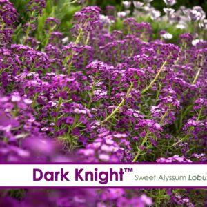 Dark Knight Lobularia--A P Allen Smith Favorite!