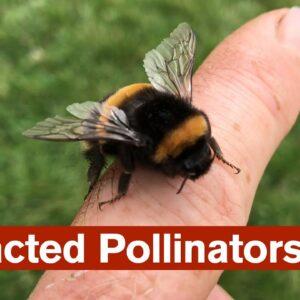 Distracted Pollinators