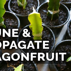 Easy Dragon Fruit Propagation and Pruning Technique