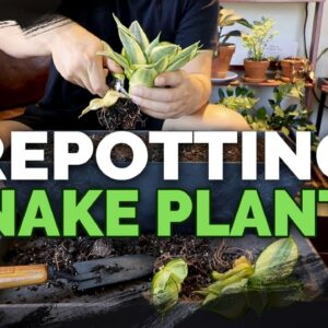 Easy Tips for Propagating and Repotting Snake Plants