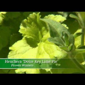 Proven Winners® Gardener Channel: Proven Winners® Dolce® Key Lime Pie Heuchera