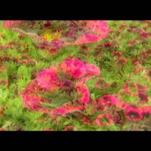 Proven Winners® Gardener Channel: Proven Winners® Superbells® Blackberry Punch