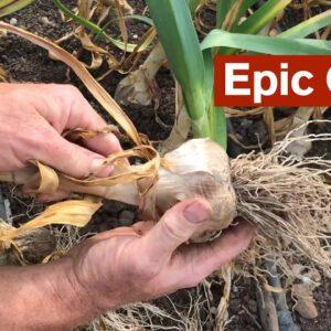 Epic Garlic Harvest