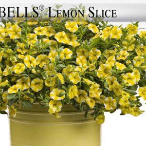 Proven Winners® Gardener Channel: Proven Winners® Superbells® Lemon Slice Calibrachoa
