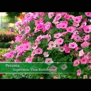 Proven Winners® Gardener Channel: Proven Winners® Supertunia® Vista Bubblegum Petunia