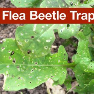 Flea Beetle Trap Crop