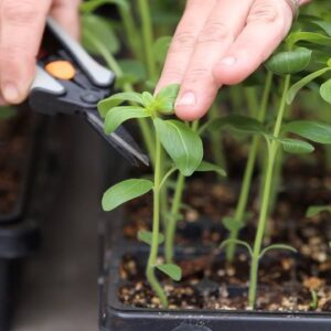 How to Pinch Seedlings for Fuller Growth & Higher Yields! 👌🌿// Garden Answer
