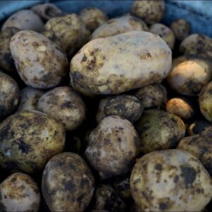 Harvesting Potatoes 👩🌾🥔// Garden Answer