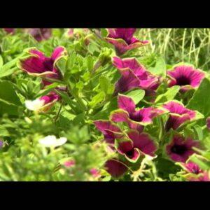 Proven Winners® Gardener Channel: Proven Winners® Supertunia® Pretty Much Picasso® Petunia