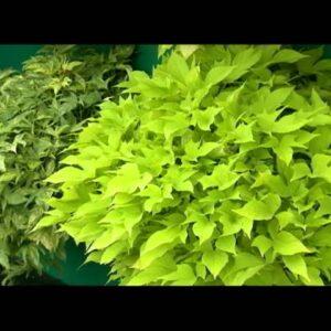 Proven Winners® Gardener Channel: Proven Winners® Sweet Caroline Light Green Potato Vine