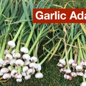 Garlic Adapting