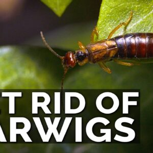 Get Rid of Earwigs With These 2 Traps!