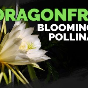 How to Grow Dragonfruit Part 4: Blooming & Pollination 🐉🏵️