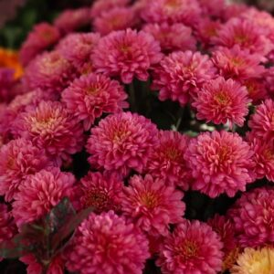 Gorgeous and Unusual Mums Are Ready for Fall