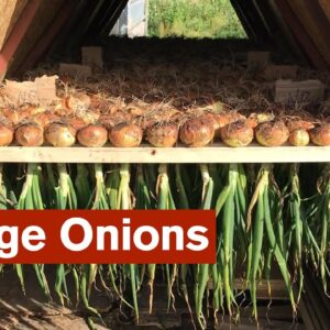 Great Crop of Onions for Storage