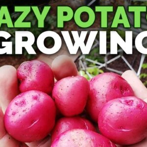 Growing Potatoes By IGNORING Them (EPIC HARVEST)
