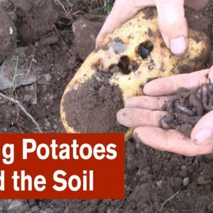 Growing Potatoes to Feed the Soil