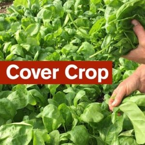 Growing Salad as a Cover Crop