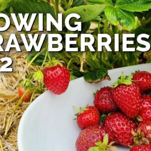 Growing Strawberries (Part 2): Pruning, Pests, and Harvesting