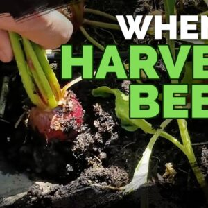 Harvesting Beets: When, How, and Tips for Storing Beets