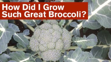 How Did I Grow Such Great Broccoli?