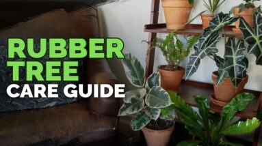 How to Care for The Rubber Tree Plant (Ficus elastica)