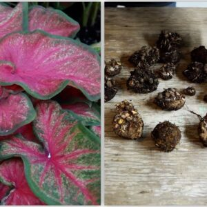 How to Dig and Store Caladiums 🌿// Garden Answer