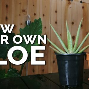 How to Grow Aloe Vera in Containers and Harvest Massive Leaves